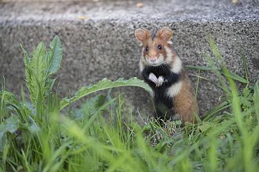 European hamster (Cricetus cricetus), adult, standing on hind legs, Vienna, Austria