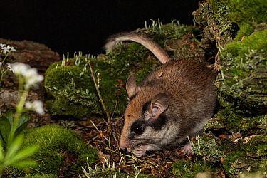 Garden dormouse (Eliomys quercinus), adult, captive. May.