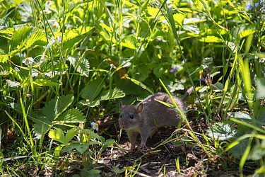 Brown rat (Rattus norvegicus), juvenile among strawberry plants and grass, Hanover, Lower Saxony, Germany