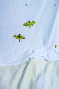 Spanish moon moths (Graellsia isabellae) male and female attracted to brightly lit white sheet at night during scientific research, The Ports Natural Park, Catalonia, Spain. June.