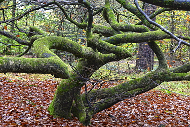 Twisted beech trees (Fagus sylvatica var. tortuosa) in autumn, Montagne de Reims Natural Park, Champagne, France, October 2017