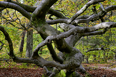 Twisted beech tree (Fagus sylvatica var. tortuosa) in autumn, Montagne de Reims Natural Park, Champagne, France, October 2017