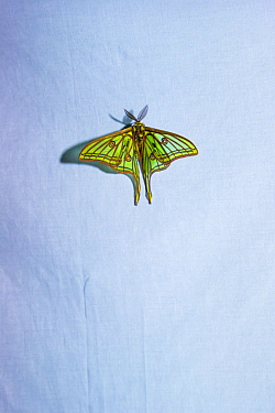 Spanish moon moths (Graellsia isabellae) male attracted to brightly lit white sheet at night during scientific research, The Ports Natural Park, Catalonia, Spain. June.