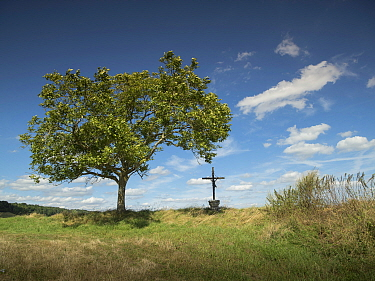Tree and Crucifix, near Caverne du Dragon Museum, Chemin Des Dames, Aisne, northern France, August 2016.