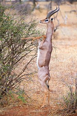 Gerenuk (Litocranius walleri) male standing on hind limbs to feed on leaves, Samburu National Reserve, Kenya.