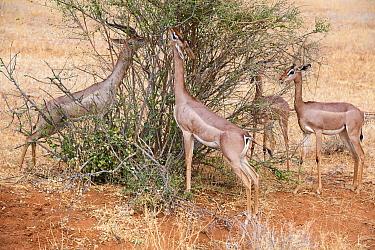 Group of Gerenuk (Litocranius walleri) feeding on leaves, Samburu National Reserve, Kenya.