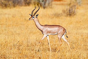 Gerenuk (Litocranius walleri) male walking in the savanna, Samburu National Reserve, Kenya.