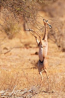 Gerenuk (Litocranius walleri) female  standing on hindlimbs to feed on leaves, Samburu National Reserve, Kenya.