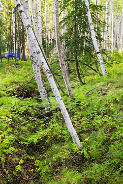 A 'Drunken forest' in Fairbanks, Alaska where trees are collapsing into the ground due to global warming induced permafrost melt.  Alaska, USA, September 2004