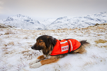 A SARDA (Search and Rescue Dog Association) dog on a search for a missing walker, Lake District, England, UK. February 2009