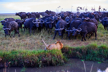 African lion (Panthera leo) male in front of charging Cape buffalo herd (Syncerus caffer caffer), Masai Mara National Reserve, Kenya. Sequence 5 of 13. The lion along with a lioness had killed a buffa...