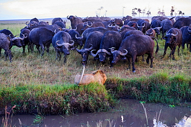 African lion (Panthera leo) male in front of charging Cape buffalo herd (Syncerus caffer caffer), Masai Mara National Reserve, Kenya. Sequence 6 of 13. The lion along with a lioness had killed a buffa...