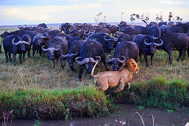 African lion (Panthera leo) male escaping from charging Cape buffalo herd (Syncerus caffer caffer), Masai Mara National Reserve, Kenya. Sequence 9 of 13. The lion along with a lioness had killed a buf...