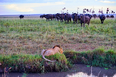 African lion (Panthera leo) male in front of charging Cape buffalo herd (Syncerus caffer caffer), Masai Mara National Reserve, Kenya, Africa. Sequence 1 of 13. The lion along with a lioness had killed...