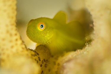 Yellow hairy goby (Paragobiodon xanthosoma) sheltering in coral. Anilao, Batangas, Luzon, Philippines. Verde Island Passages, Tropical West Pacific Ocean.