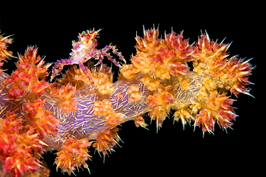 Soft coral crab (Hoplophrys oatesil) climbing out onto a branch of yellow and red soft coral (Dendronephthya sp.) at night. Anilao, Batangas, Luzon, Philippines. Verde Island Passages, Tropical West P...