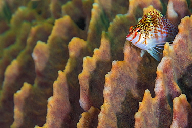 Dwarf hawkfish (Cirrhitichthys falco) perched on the ridges of a barrel sponge. Anilao, Batangas, Luzon, Philippines. Verde Island Passages, Tropical West Pacific Ocean.