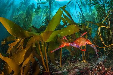 Weedy seadragon (Phyllopteryx taeniolatus) male carries eggs through a kelp forest (Macrocystis pyrifera) in Tasmania, Australia. Tasmania is the only part of Australia with giant kelp forests. The ke...