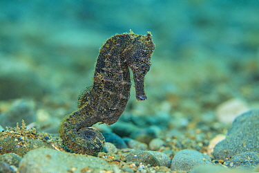 Yellow seahorse (Hippocampus kuda) female moves across a pebbly seabed in shallow water. Ambon Bay, Ambon, Maluku Archipelago, Indonesia. Banda Sea, tropical west Pacific Ocean.