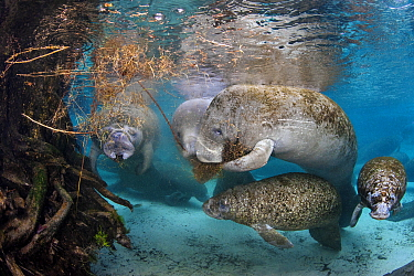 Florida manatees (Trichechus manatus latirostris) females feeding on vegetation that has fallen into the water, while their babies play. Three Sisters Spring, Crystal River, Florida, USA