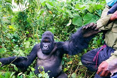 Mountain gorilla (Gorilla beringei beringei) silverback male pushing a guard from the ICCN (Congolese Institute for the Conservation of Nature) away, member of the Humba group, Virunga National Park,...