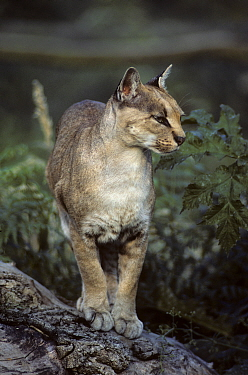 African golden cat (Caracal aurata) female,  captive, occurs in West and Central Africa.