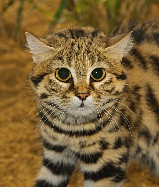 Black-footed cat (Felis nigripes)  captive, occurs in Southern Africa., Port Lympne Wild Animal Park, Kent, UK.