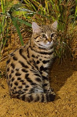 Black-footed cat (Felis nigripes)  captive, occurs in Southern Africa., Port Lympne Wild Animal Park, Kent, UK.