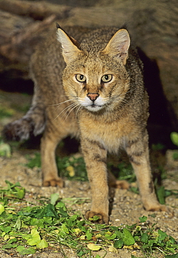 Jungle / Reed cat ( Felis chaus)  captive, occurs in N/th Africa, N/th Asia, Captive