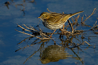 Meadow pipit (Anthus pratensis) foraging in water, Vendee, France, December.