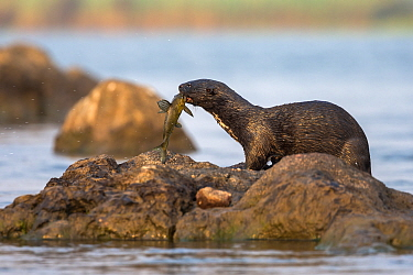 Spotted necked otter (Hydrictis maculicollis) eating Leopard squeaker fish (Synodontis leopardinus), Chobe River, Botswana, September.