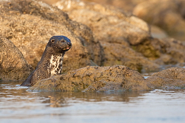 Spotted necked otter (Hydrictis maculicollis), Chobe River, Botswana, September.
