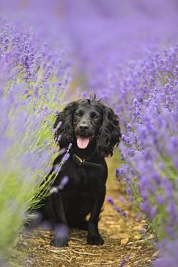 Black working cocker spaniel in portrait in lavender field, Gloucestershire, UK