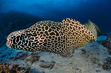 Laced moray (Gymnothorax favagineus), Ari atoll, Maldives islands, Indian Ocean.
