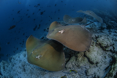 Jenkins' whipray (Himantura jenkinsii) Male Atoll; Maldives Islands, Indian ocean