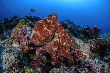 Reef octopus (Octopus cyanea) in the reef, South Ari Atoll, Maldives Islands, Indian Ocean.