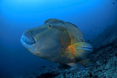 Napoleon wrasse (Cheilinus undulatus) large male, South Male atoll, Maldives, Indian Ocean.