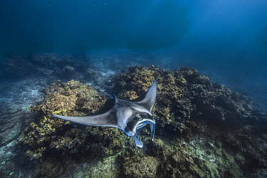 Giant manta (Manta birtostris) swimming over a cleaning station, Malet Atoll, Maldives islands.