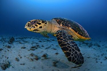 Hawksbill turtle (Eretmochelys imbricata), South Ari atoll, Maldives Islands, Indian ocean