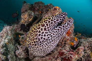 Laced moray (Gymnothorax favagineus), Ari atoll, Maldives islands, Indian Ocean