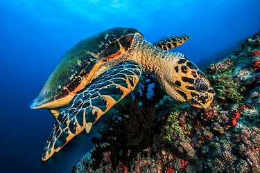 Hawksbill turtle (Eretmochelys imbricata) feeding on coral, South Ari Atoll, Maldives Islands, Indian ocean.