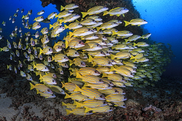 School blueline snappers (Lutjanus kasmira) South Ari Atoll, Maldives, Indian Ocean.