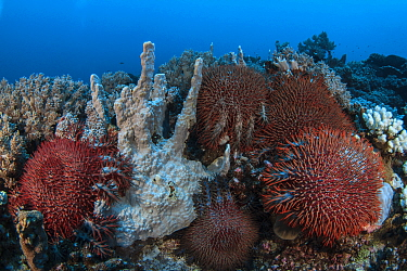 Crown-of-thorns starfish (Acanthaster planci) on the reef, Mozambique.