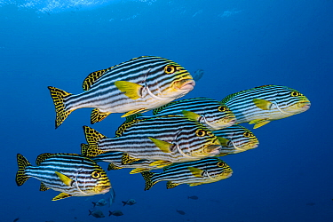 Oriental sweetlips (Plectorhinchus vittatus) South Ari Atoll, Maldives, Indian Ocean.