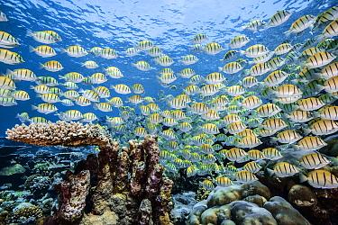 Convict surgeonfish (Acanthurus triostegus) Gafu atoll, Indian Ocean, Maldives.
