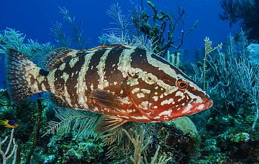 Nassau grouper (Epinephelus striatus) on a coral reef, Little Cayman Island, Cayman Islands, Caribbean.