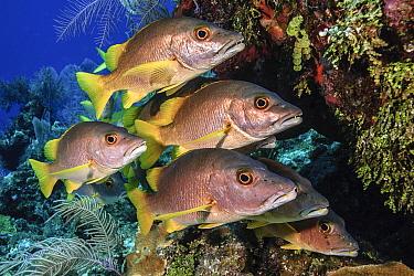 Schoolmaster snapper (Lutjanus apodus) school in the reef, Little Cayman island, Cayman Islands, Caribbean.