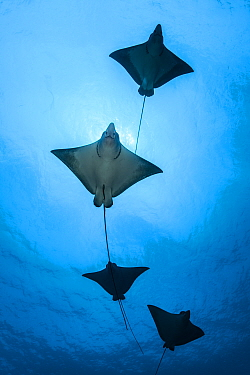 Spotted eagle ray (Aetobatus narinari) school, Kagi kandhu, ;North Male Atoll, Maldives, Indian Ocean.