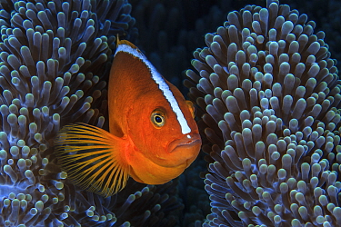 Nosestripe clownfish (Amphiprion akallopisos) in its anemone, Sulawesi, Indonesia, Sulu Sea.