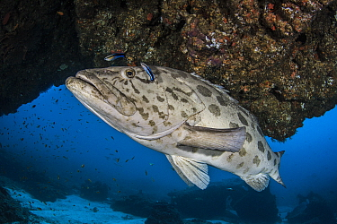 Potato cod (Epinephelus tukula) Pomene Coast, South Mozambique, Indian Ocean, South-East Coast.